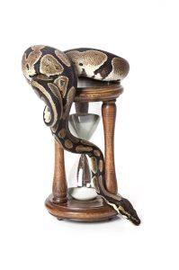 Royal Python with hourglass